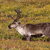Caribou in Denali National Park and Wilderness Preserve in Alaska.