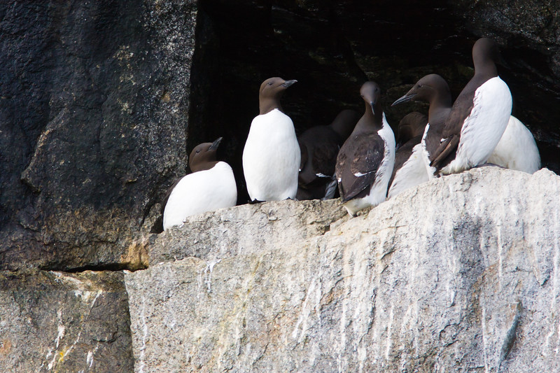 Common Murre (Uria aalge) on rocky ledge in Kenai Fjords National Park in Alaska.