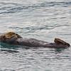 Sea Otter lounging in Resurrection Bay in the Kenai Fjords National Park in Alaska.