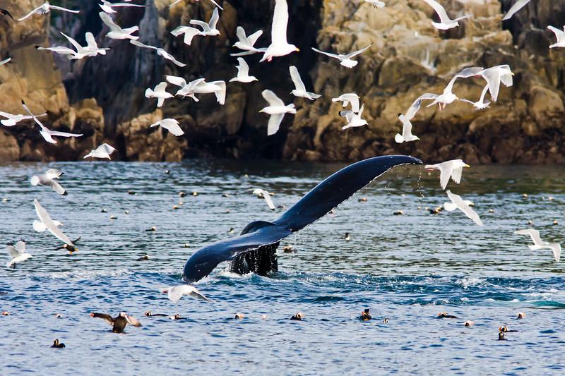 Humpback Whale (Megaptera novaeangliae) in Kenai Fjords National Park in Alaska.