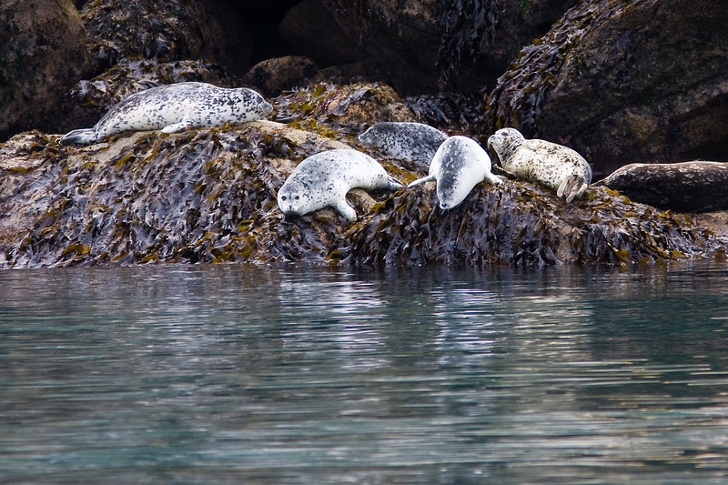 Harbor Seals (Phoca vitulina) in Kenai Fjords National Park in Alaska. Harbor Seals are an endanged species in Alaska.