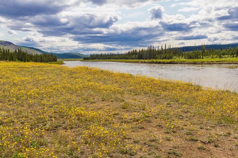 Wildflowers by the Yukon River in Yukon Territory, Canada.