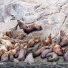 """Stellar Sea Lions, Eumetopias jubatus, near Juneau, Alaska. This sea lion is the largest member of the family Otariidae, the """"eared seals,"""" which includes all sea lions and fur seals."""