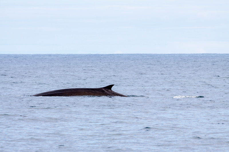 Fin Whale, Balaenoptera physalus, also called Finback Whale, in Kenai Fjords National Park in Alaska. This whale is on the endanged species list.