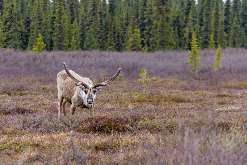 Caribou or Reindeer (Rangifer tarandus),  a deer from the Arctic and Subarctic, in Denali National park, Alaska.