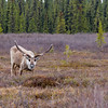 Caribou or Reindeer (Rangifer tarandus),  a deer from the Arctic and Subarctic, in Denali National park, Alaska.