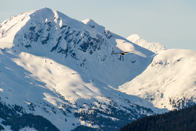 Bald Eagle in flight over snow covered mountains along the Turnagain Arm of the Cook Inlet between Anchorage and Seward Alaska.