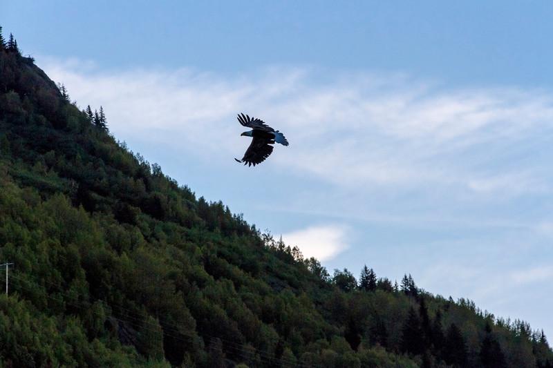 Silhouette of Eagle in flight in Chugach mountains near Anchorage, Alaska.