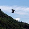 Silhouette of Eagle in flight in Chugach mountains near Anchorage, Alaska.