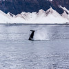 Humpback Whale, Megaptera novaeangliae, in Kenai Fjords National Park in Alaska.