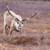 The Caribou or Reindeer (Rangifer tarandus), is a deer found in Arctic and Subarctic regions. This male Caribou is in Denali National Park in Alaska.