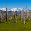 """In Alaska's 1964 earthquake and subsequent Tsunamis, trees growing along the Turnagain Arm were inundated with salt water and became """"ghost"""" trees, dead but preserved and still standing, a silent reminder of the past."""