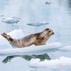 Harbor Seals, Phoca vitulina, on icebergs in cold waters near Northwestern Glacier in Kenai Fjords National Park in Alaska.