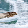 Harbor Seals, Phoca vitulina, on icebergs in cold waters near Northwestern Glacier in Kenai Fjords National Park in Alaska.