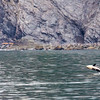 Orca whale, Orcinus orca, also known as Killer Whales, in Kenai Fjords National Park in Alaska.