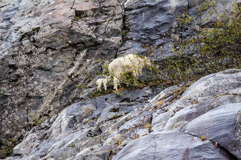 Mountain goat nanny and kid on mountainside in Kenai Fjords Nattional Park, Alaska.