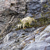 Mountain goat nanny and kid on mountainside in Kenai Fjords Nattional Park, Alaska.
