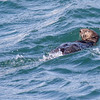 Sea Otter, Enhydra lutris, in Resurrection Bay near Seward, Alaska.