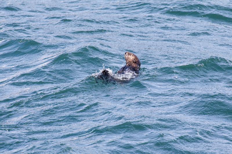 Sea Otter, Enhydra lutris, in Resurrection Bay near Seward, Alaska.