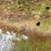 Black Bear in Chugach Mountain Range in Alaska, seen from Alaska Railroad Coastal train.