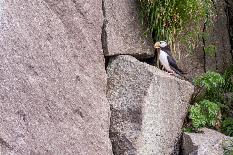 Horned Puffin, Fratercula corniculata, in Kenai Fjords National Park in Alaska.