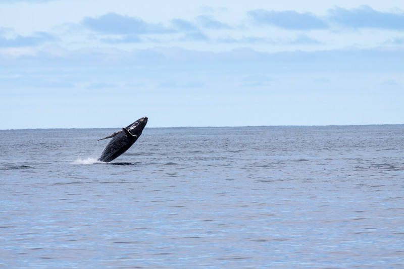 Humpback Whale, Megaptera novaeangliae, in Kenai Fjords National Park in Alaska.
