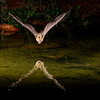 Pallid Bat, Antrozous pallidus, at night diving to pond to get a drink of water.