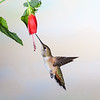 Rufous Hummingbird, Selasphorus rufus, feeding at nectar flowers.