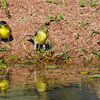 Yellow-breasted Chat, Icteria virens, coming to pond for a drink in Arizona desert.