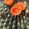 Arizona Barrel Cactus or Candy Barrel Cactus,  Ferocactus wislizeni, in bloom in desert.