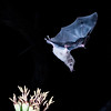 Nectar feeding bat, the endangered Lesser Long-nosed bat, Leptonycteris yerbabuenae, feeding on nectar at night in Arizona.