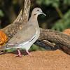White-winged dove, Zenaida asiatica, in Arizona desert.
