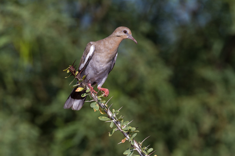 Immature White-winged dove, Zenaida asiatica, perched on Ocotillo plant in Arizona desert.