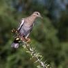 Immature White-winged dove, Zenaida asiatica, perched on Ocotillo plant in Arizona desert.