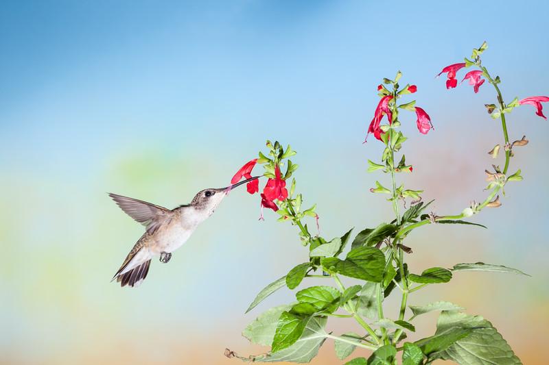 Black-chinned Hummingbird, Archilochus alexandri, feeding on nectar flowers.