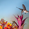 Black-chinned Hummingbird, Archilochus alexandri, feeding on Mexican Bird of Paradise flowers, Caesalpinia mexicana.