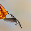 Black-chinned Hummingbird, Archilochus alexandri, feeding on nectar from Honeysuckle flowers.