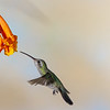Broad-billed Hummingbird, Cynanthus latirostris, feeding on nectar from Honeysuckle flowers.
