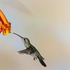 Broad-billed Hummingbird, Cynanthus latirostris, feeding on nectar from Honeysuckle flowers.