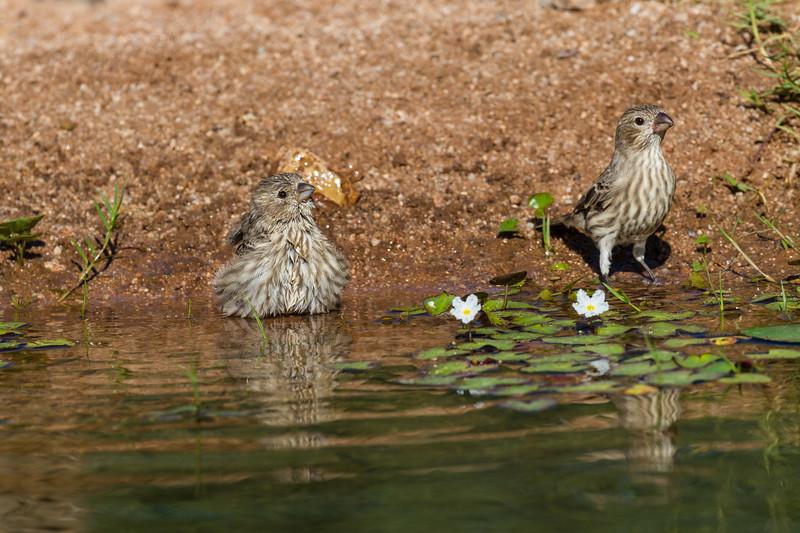 House Finch, Haemorhous mexicanus, taking a bath in Arizona desert.