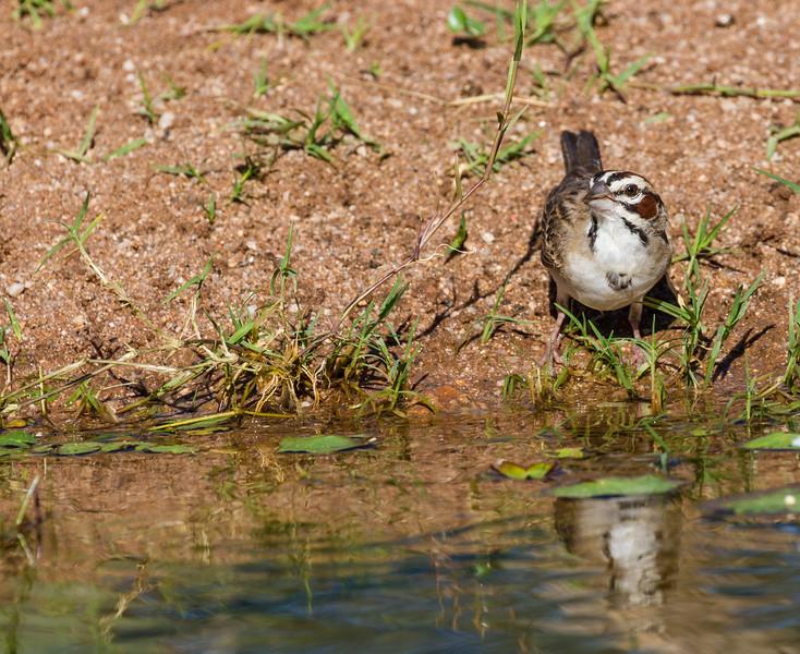 Lark Sparrow, Chondestes grammacus, in Arizona desert.