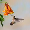 Rufous Hummingbird, Selasphorus rufus, feeding on nectar from Honeysuckle flower.