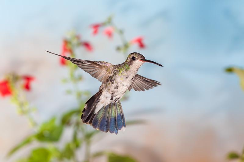 Broad-billed Hummingbird, Cynanthus latirostris, feeding at flower.