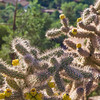 Backlit Cholla Cactus at the Chapel of the Holy Cross in Sedona.
