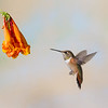 Rufous Hummingbird, Selasphorus rufus, feeding on nectar from Honeysuckle flower.