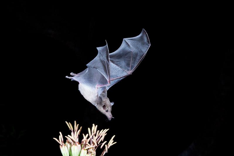 Nectar feeding bat, the endangered Lesser Long-nosed bat, Leptonycteris yerbabuenae, feeding on nectar at night in Arizona.
