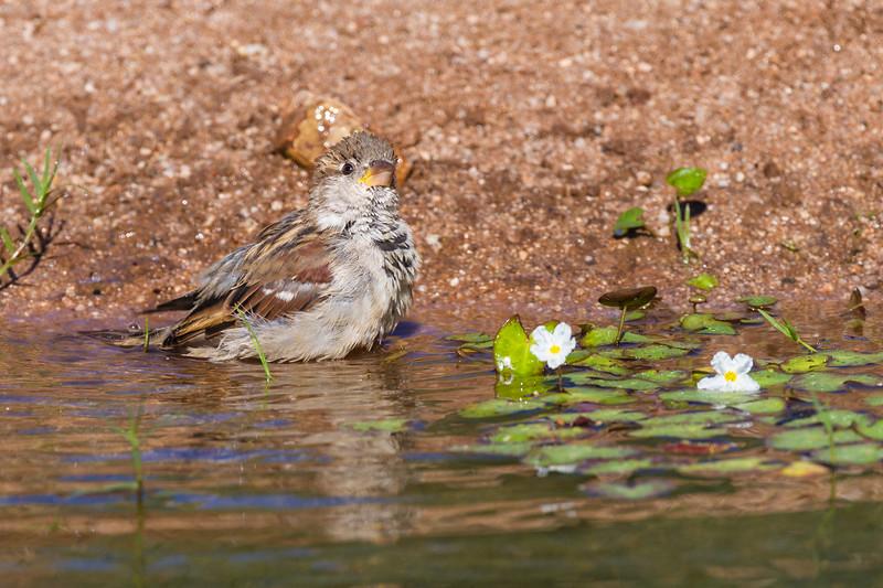 House Sparrow, Passer domesticus, taling a bath in Arizona desert.