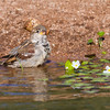 House Sparrow, Passer domesticus, taling a bath in Arizona desert.