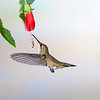Rufous Hummingbird, Selasphorus rufus, feeding at nectar flowers.