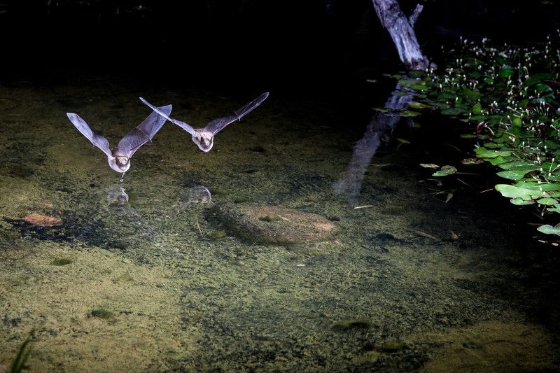 Bat at night diving to pond to get a drink of water.